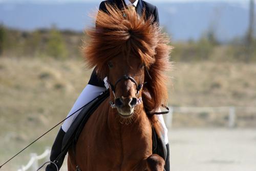icelandic_horse_show